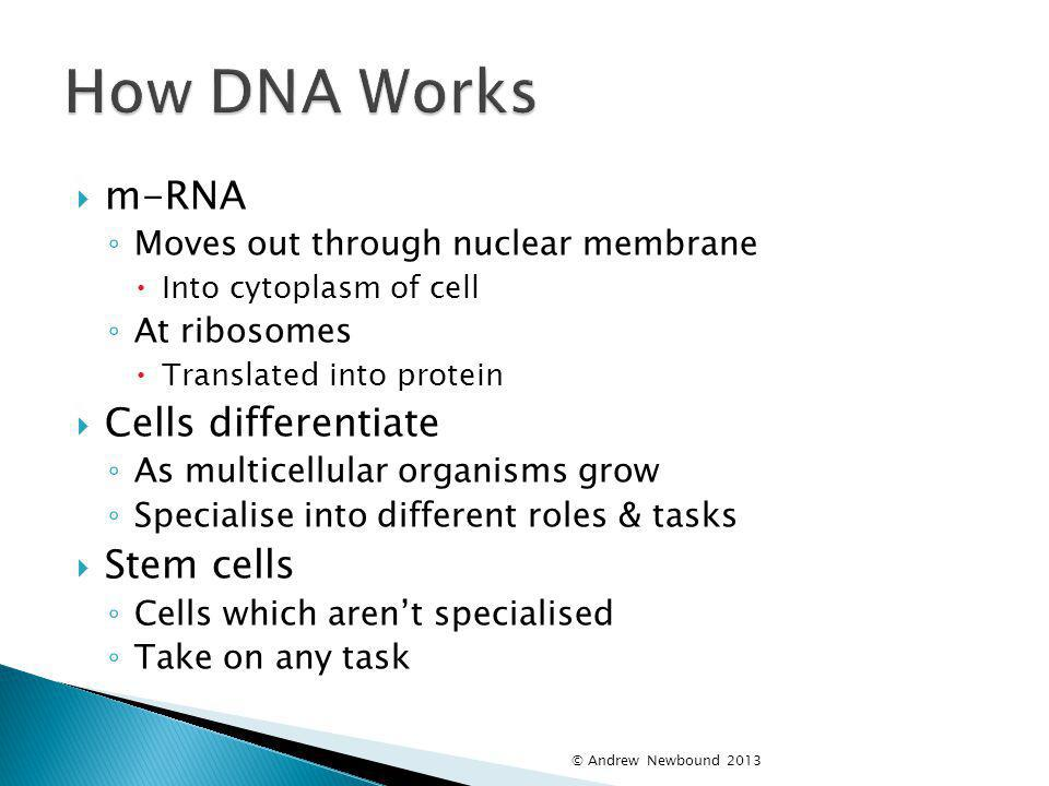 How DNA Works m-RNA Cells differentiate Stem cells