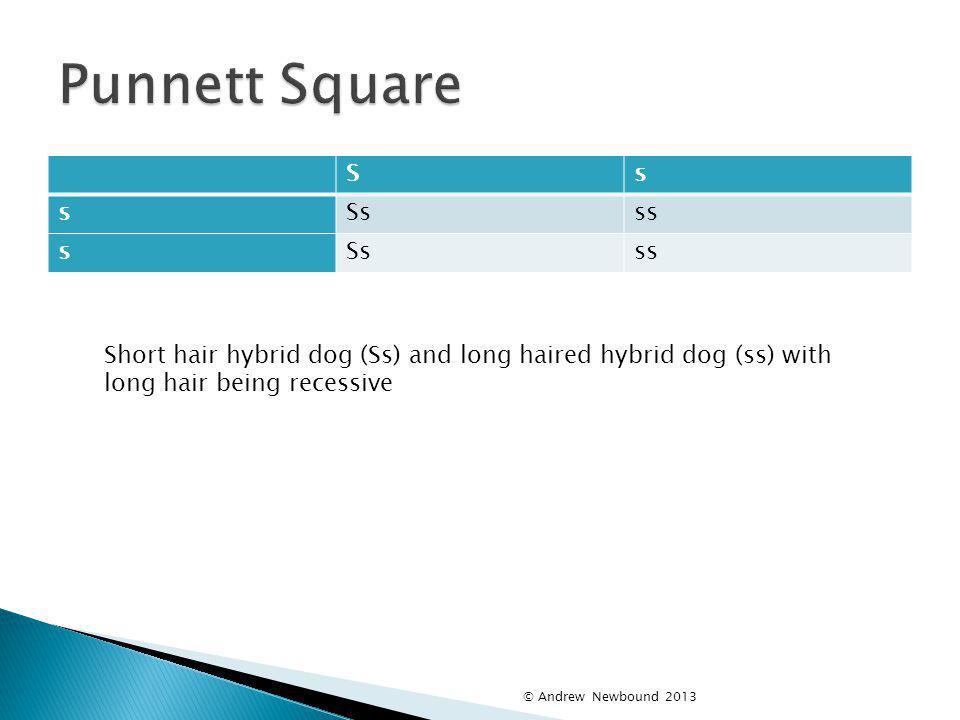Punnett Square S. s. Ss. ss. Short hair hybrid dog (Ss) and long haired hybrid dog (ss) with long hair being recessive.