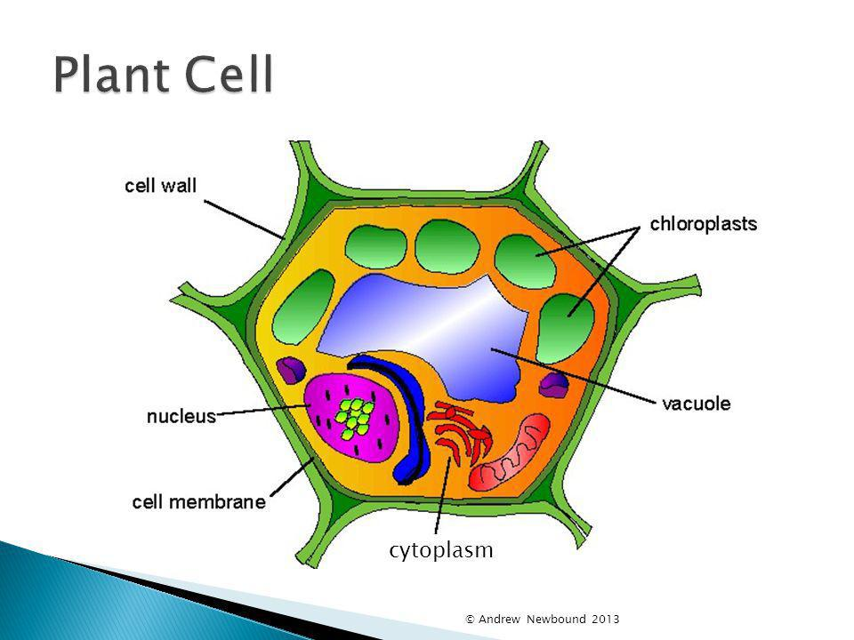Plant Cell cytoplasm © Andrew Newbound 2013