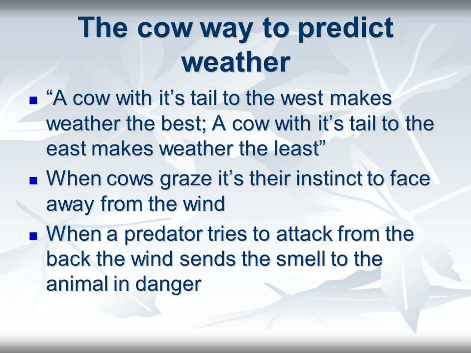 The cow way to predict weather