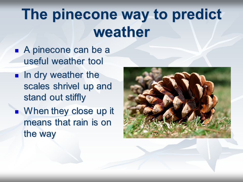 The pinecone way to predict weather