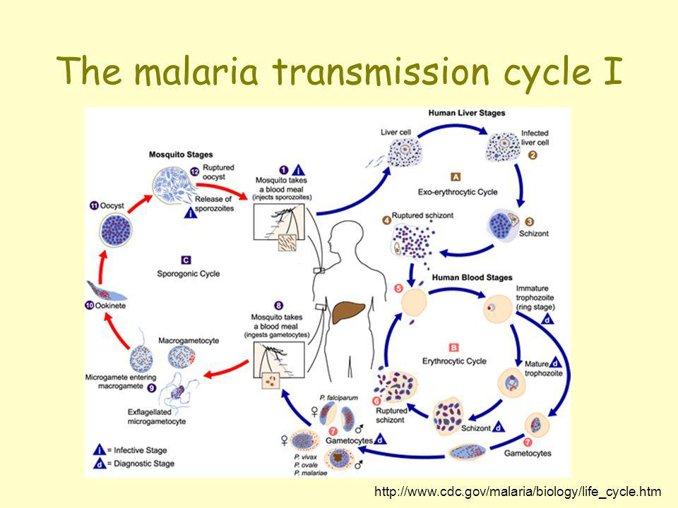 The malaria transmission cycle I
