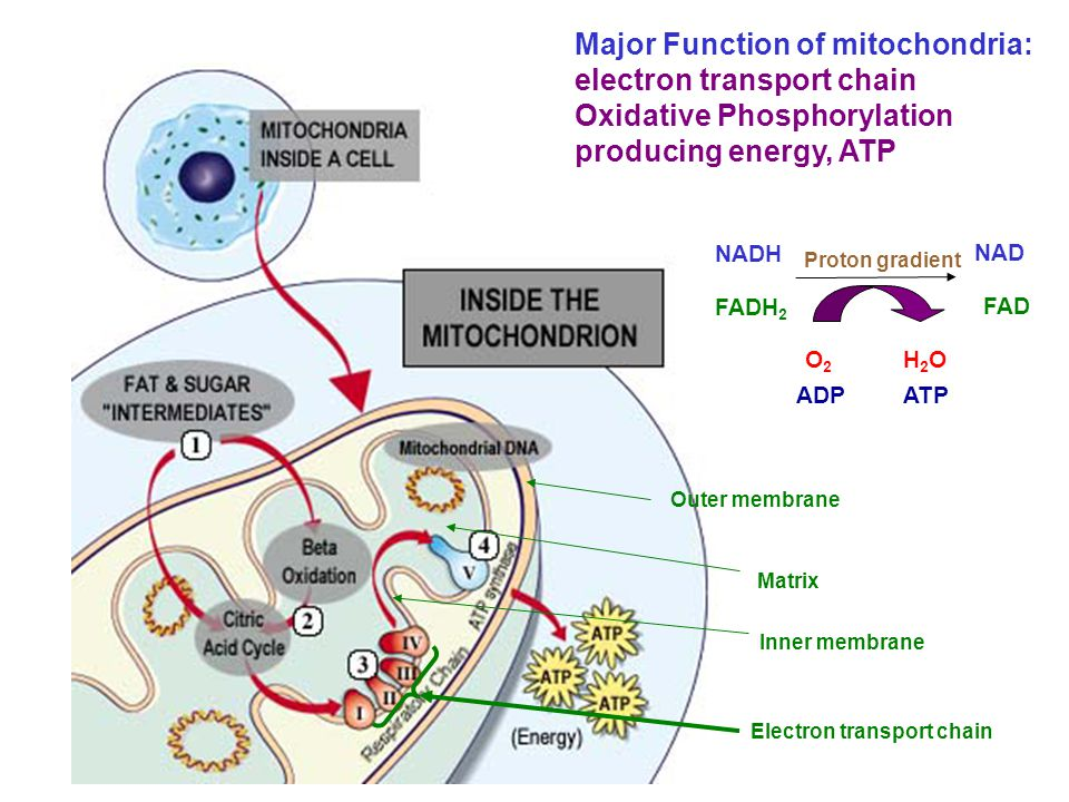 Major Function of mitochondria: electron transport chain