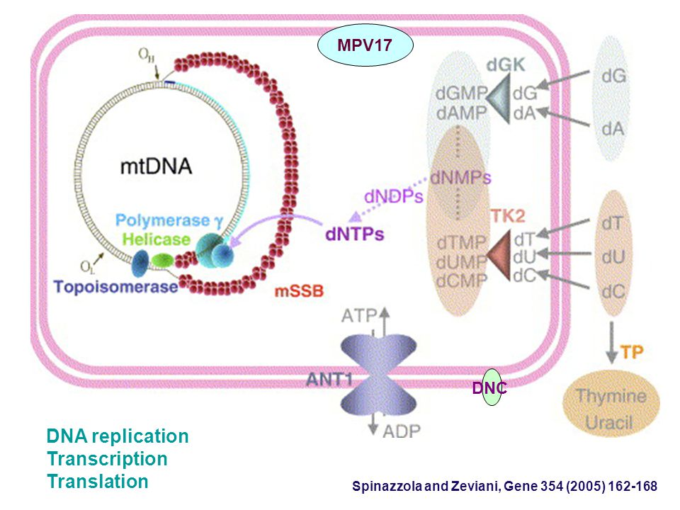 DNA replication Transcription Translation MPV17 DNC