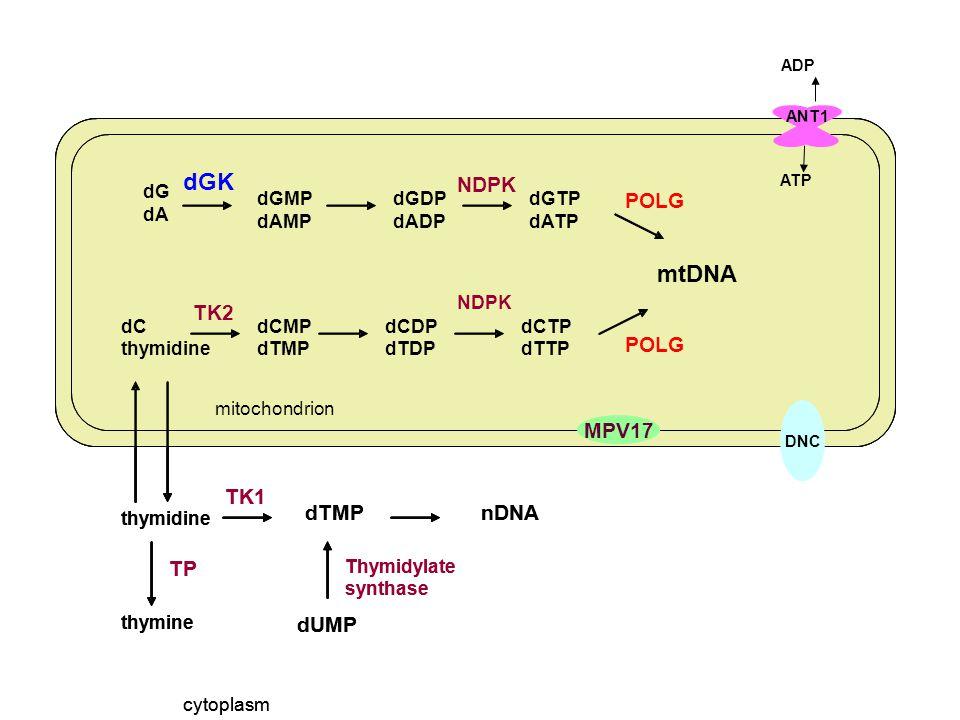 dGK mtDNA NDPK TK2 TP TK1 dTMP dUMP nDNA POLG MPV17 dG dA dGMP dAMP