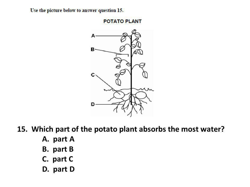 15. Which part of the potato plant absorbs the most water