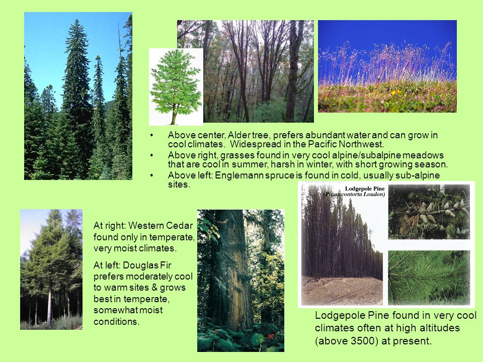 Above center, Alder tree, prefers abundant water and can grow in cool climates. Widespread in the Pacific Northwest.