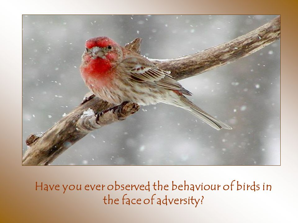 Have you ever observed the behaviour of birds in the face of adversity