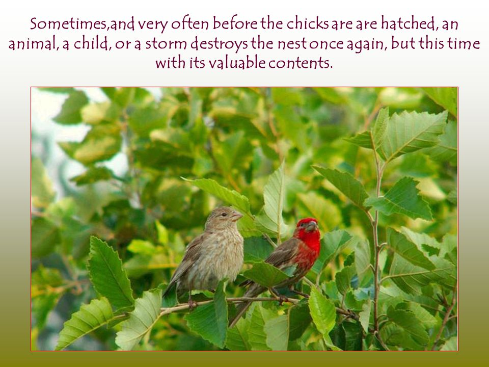 Sometimes,and very often before the chicks are are hatched, an animal, a child, or a storm destroys the nest once again, but this time with its valuable contents.