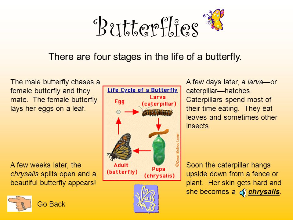 There are four stages in the life of a butterfly.