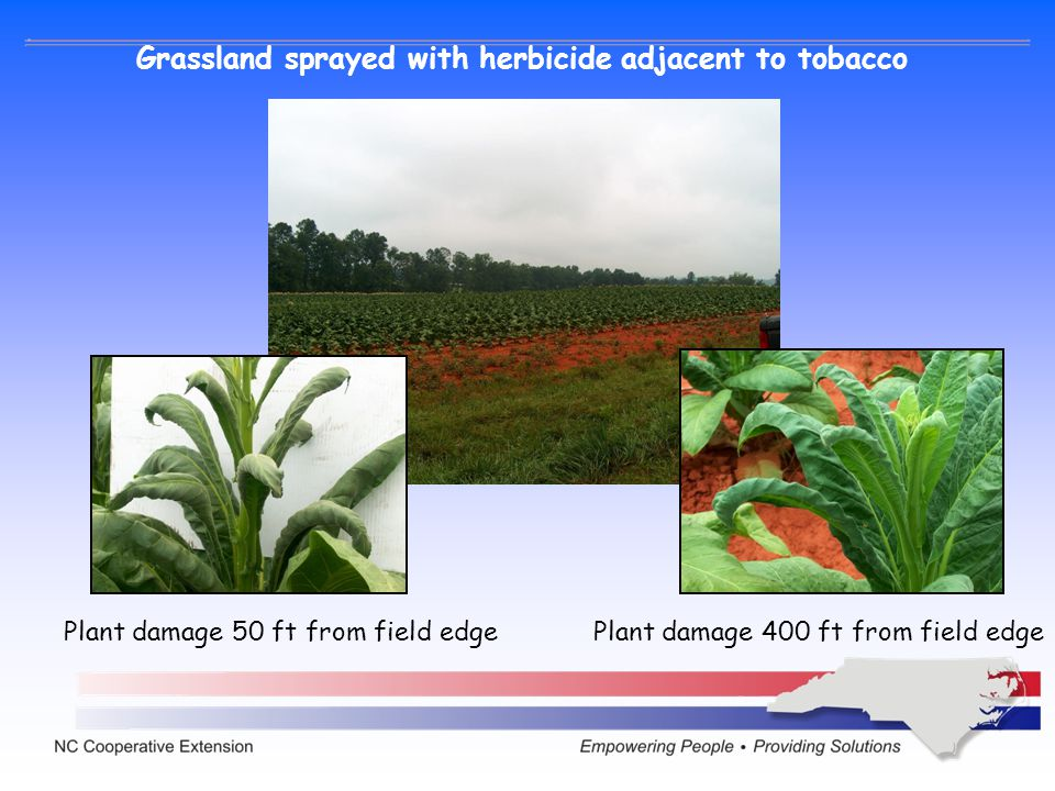 Grassland sprayed with herbicide adjacent to tobacco
