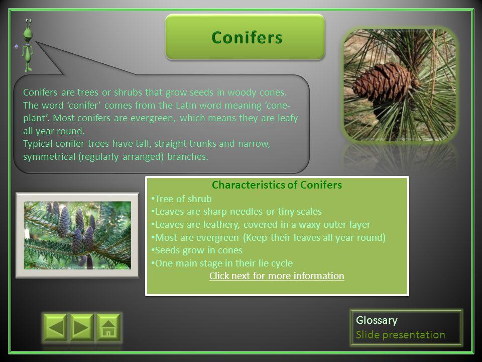 Characteristics of Conifers