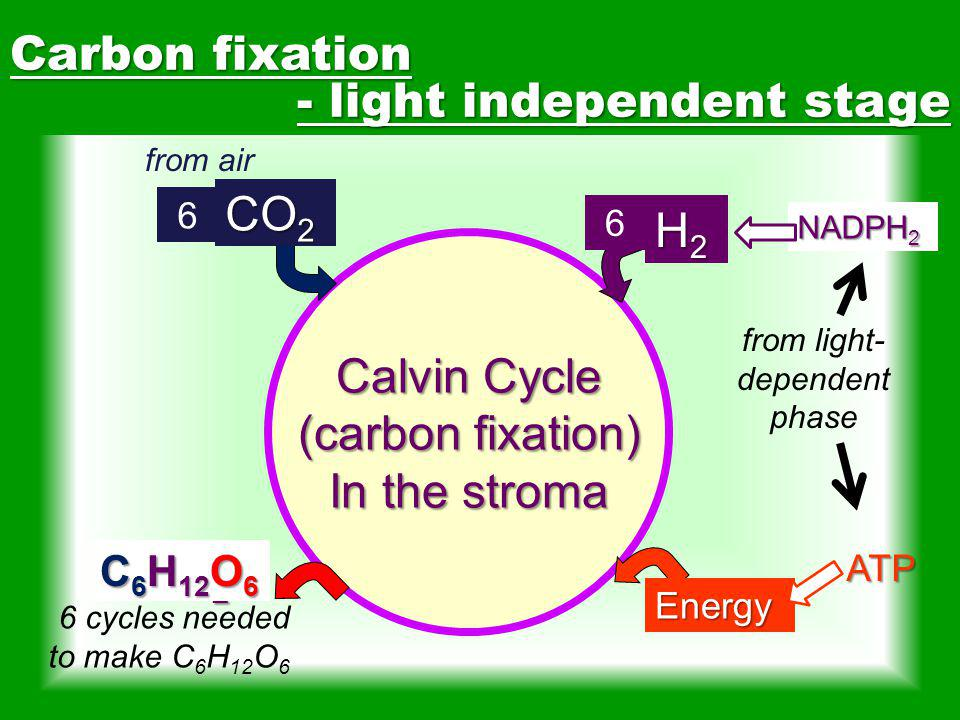 from light-dependent phase
