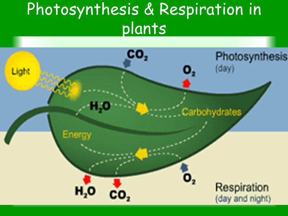 Photosynthesis & Respiration in plants