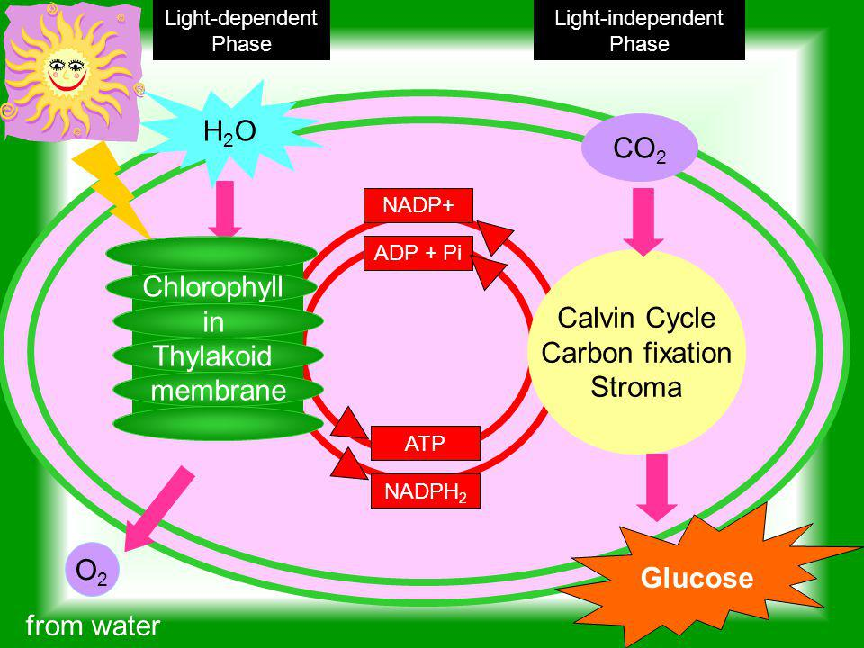 H2O CO2 Chlorophyll in Calvin Cycle Thylakoid Carbon fixation membrane