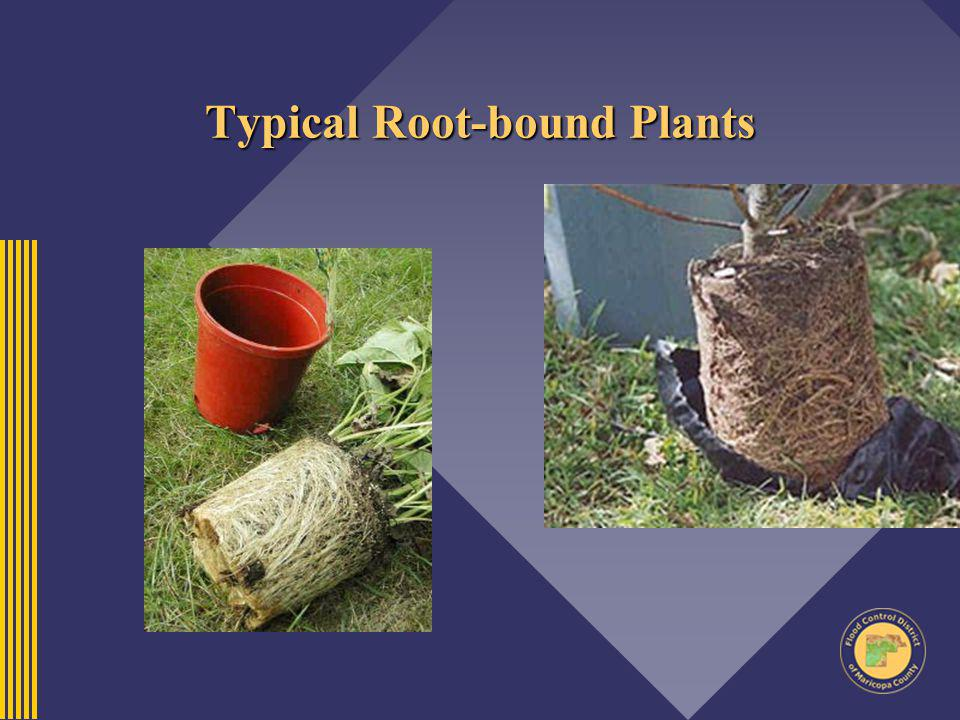 Typical Root-bound Plants