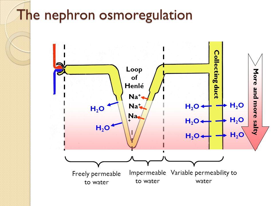 The nephron osmoregulation