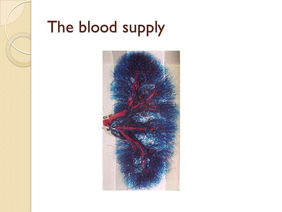 The blood supply