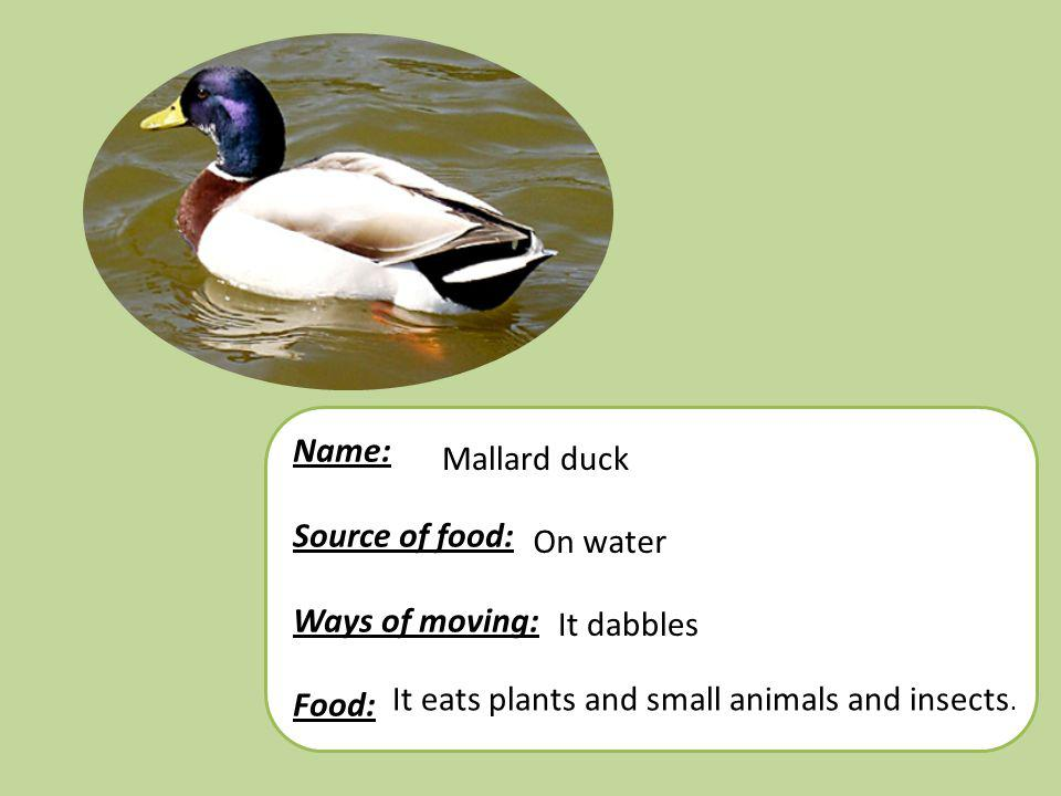 Name: Source of food: Ways of moving: Food: Mallard duck.