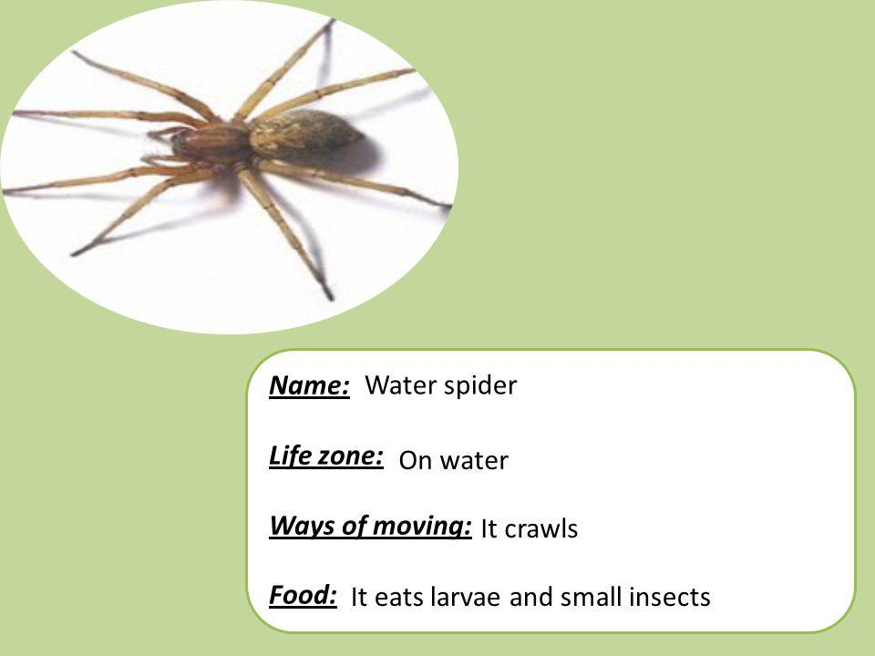 Name: Life zone: Ways of moving: Food: Water spider.