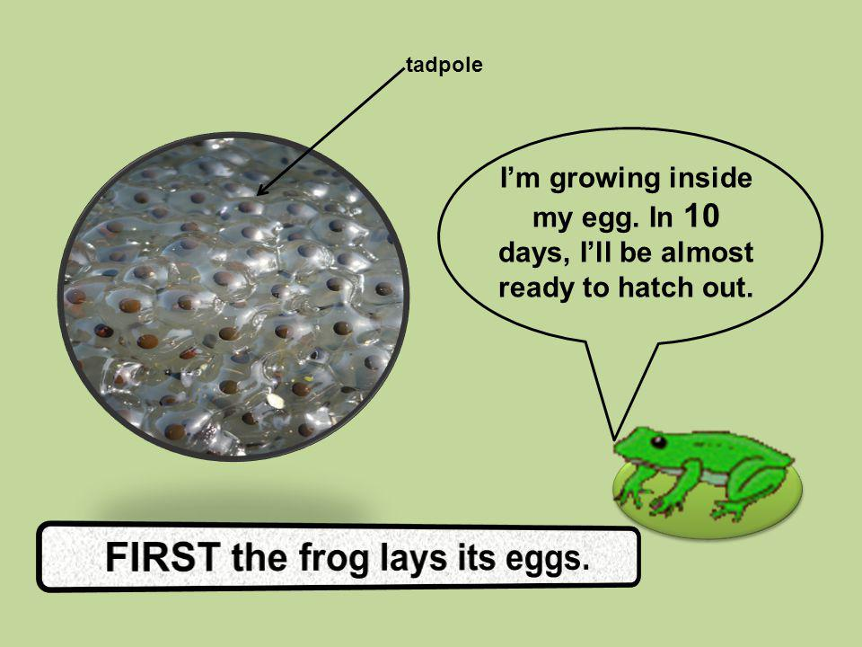 FIRST the frog lays its eggs.