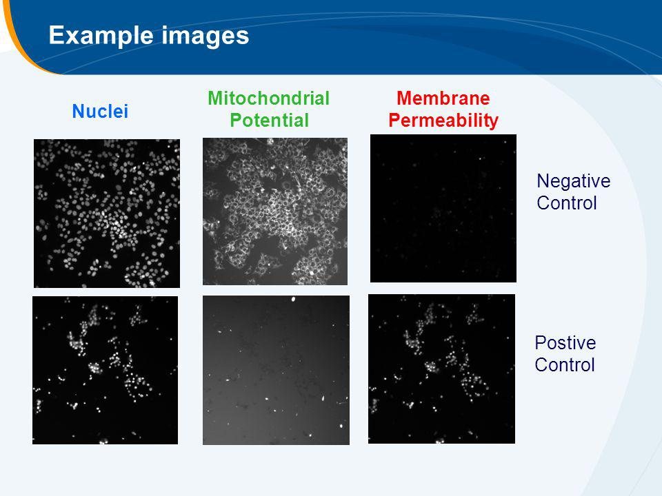 Mitochondrial Potential Membrane Permeability
