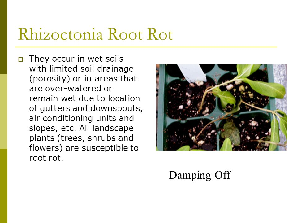 Rhizoctonia Root Rot Damping Off