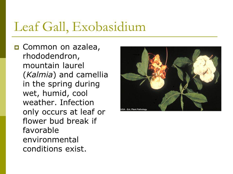 Leaf Gall, Exobasidium