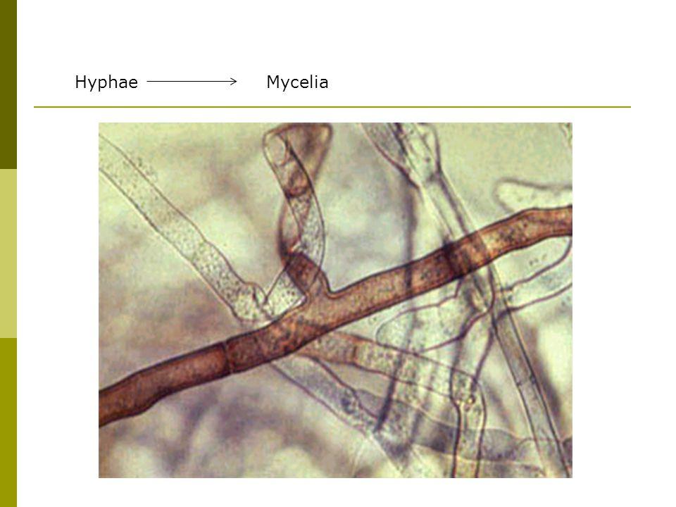 Hyphae Mycelia.