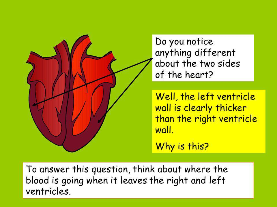 Do you notice anything different about the two sides of the heart