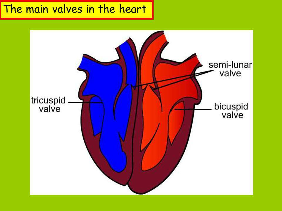 The main valves in the heart