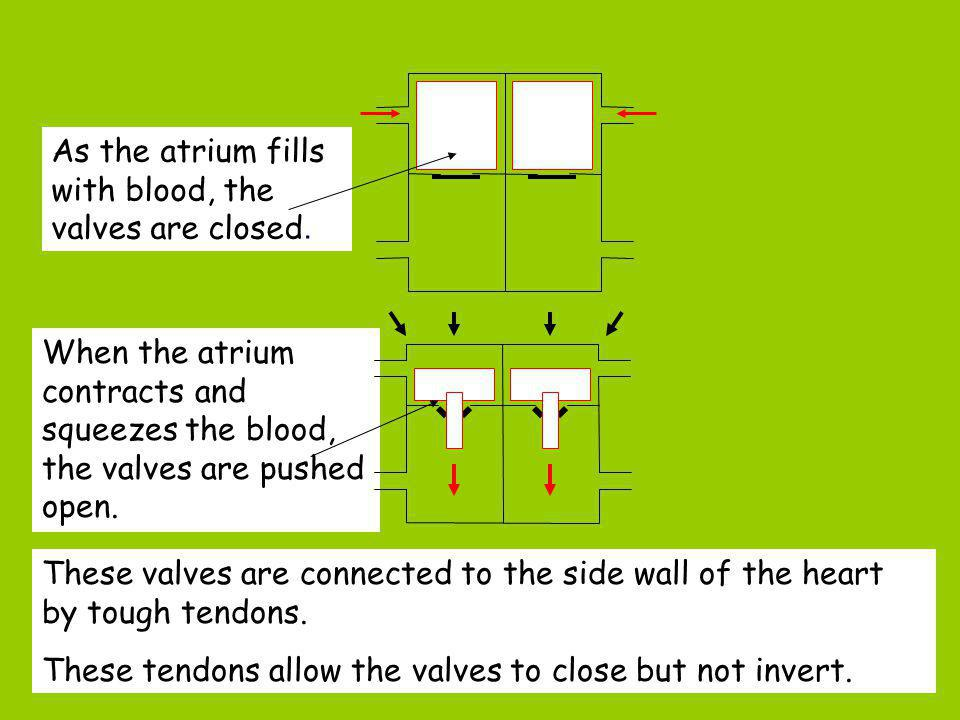 As the atrium fills with blood, the valves are closed.