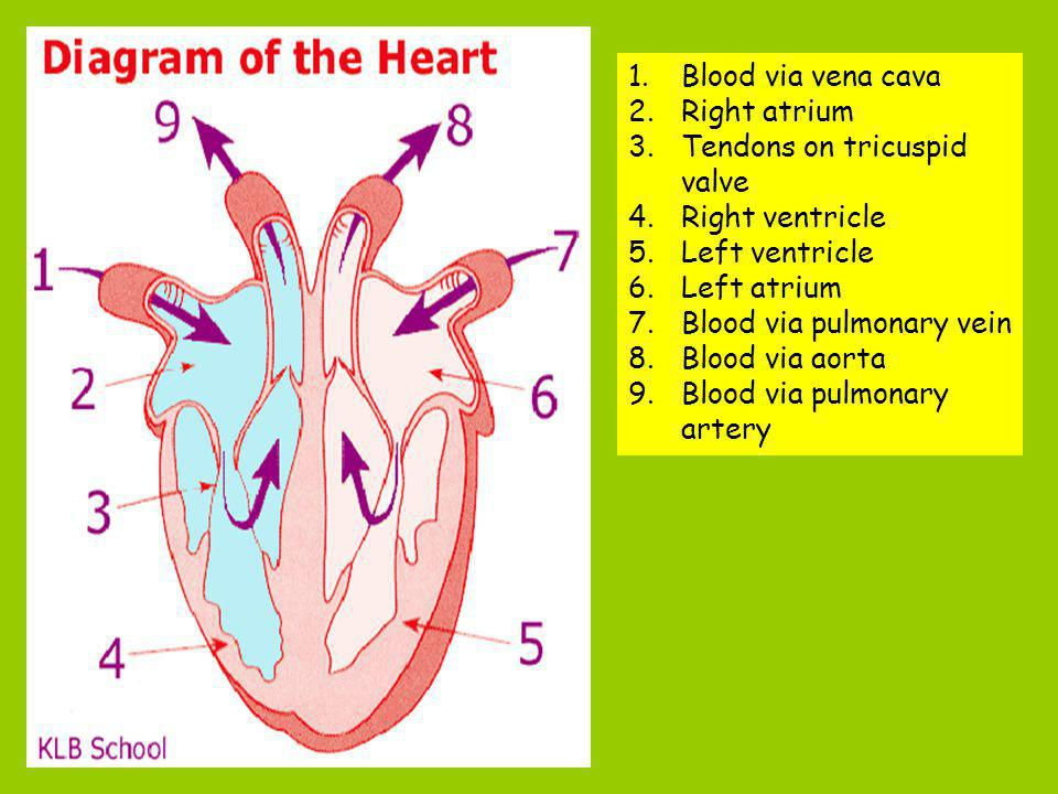 Blood via vena cava Right atrium. Tendons on tricuspid valve. Right ventricle. Left ventricle. Left atrium.