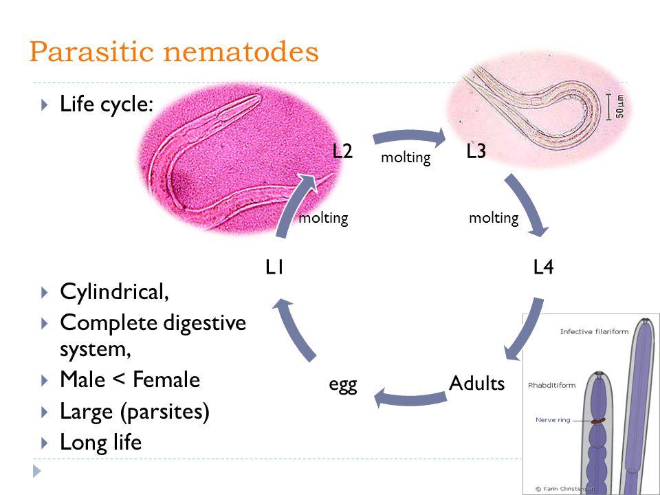 Parasitic nematodes Life cycle: Cylindrical,