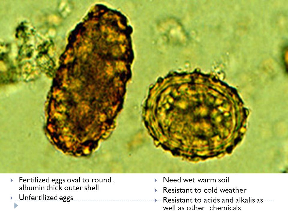 Fertilized eggs oval to round , albumin thick outer shell