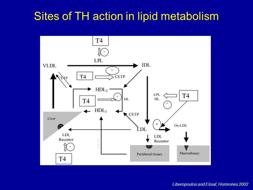 Sites of TH action in lipid metabolism