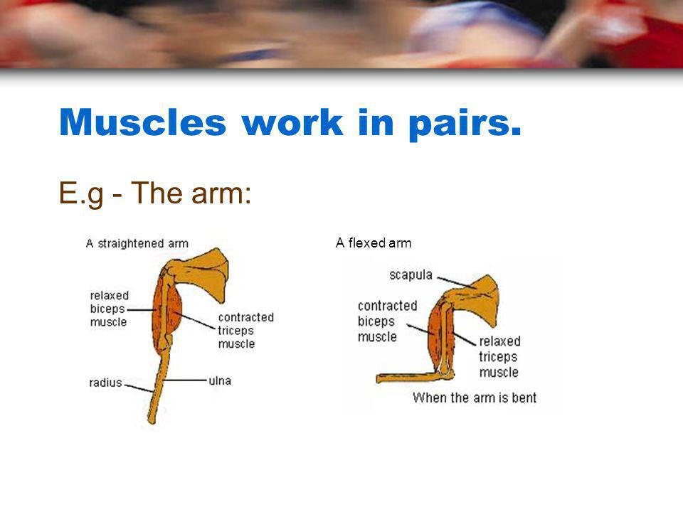Muscles work in pairs. E.g - The arm: A flexed arm
