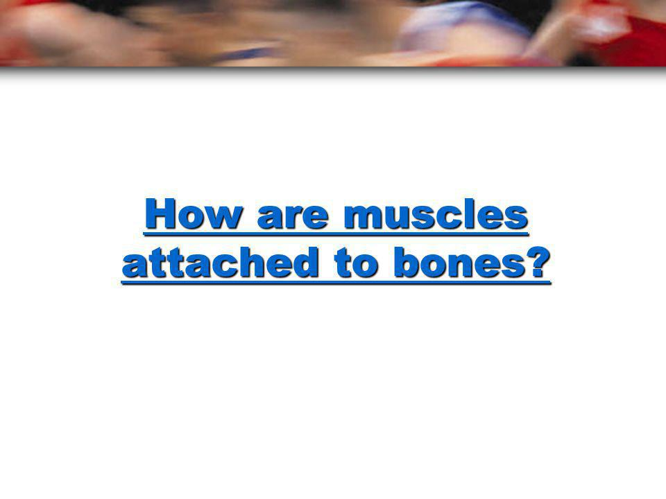 How are muscles attached to bones