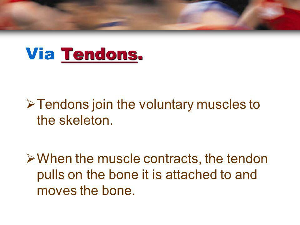 Via Tendons. Tendons join the voluntary muscles to the skeleton.