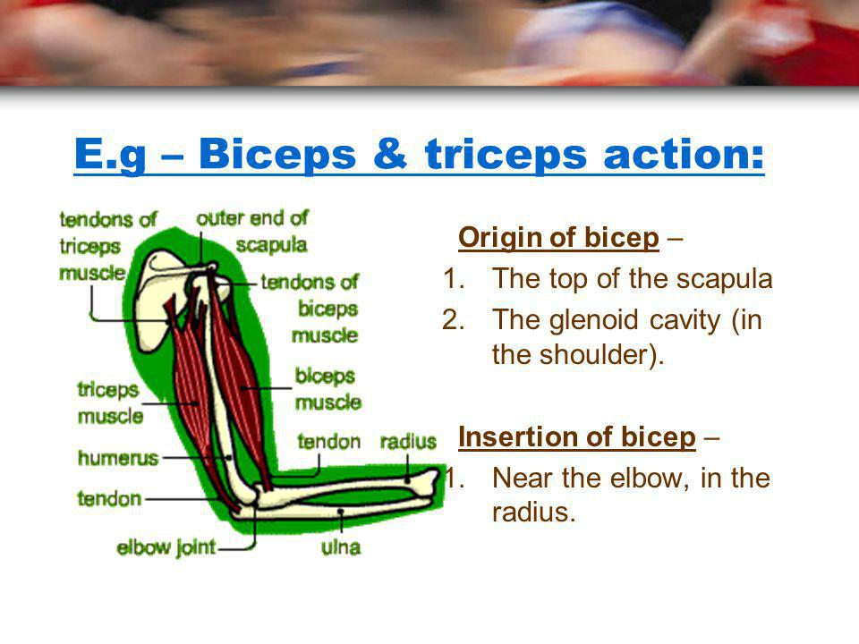 E.g – Biceps & triceps action: