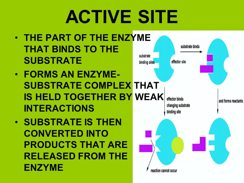 ACTIVE SITE THE PART OF THE ENZYME THAT BINDS TO THE SUBSTRATE