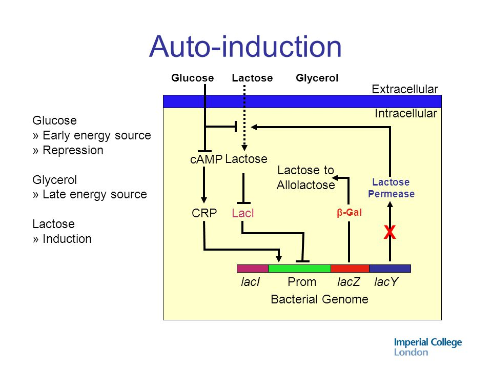 Auto-induction X Extracellular Intracellular Glucose