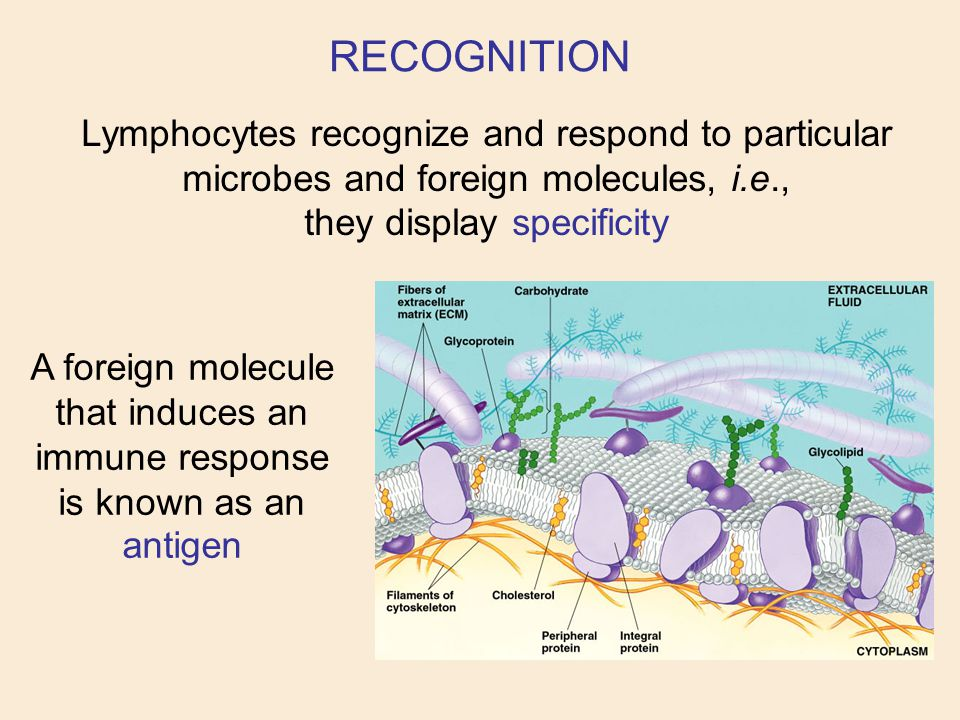 RECOGNITION Lymphocytes recognize and respond to particular microbes and foreign molecules, i.e., they display specificity.