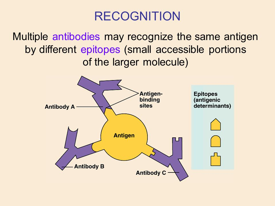 RECOGNITION Multiple antibodies may recognize the same antigen by different epitopes (small accessible portions of the larger molecule)