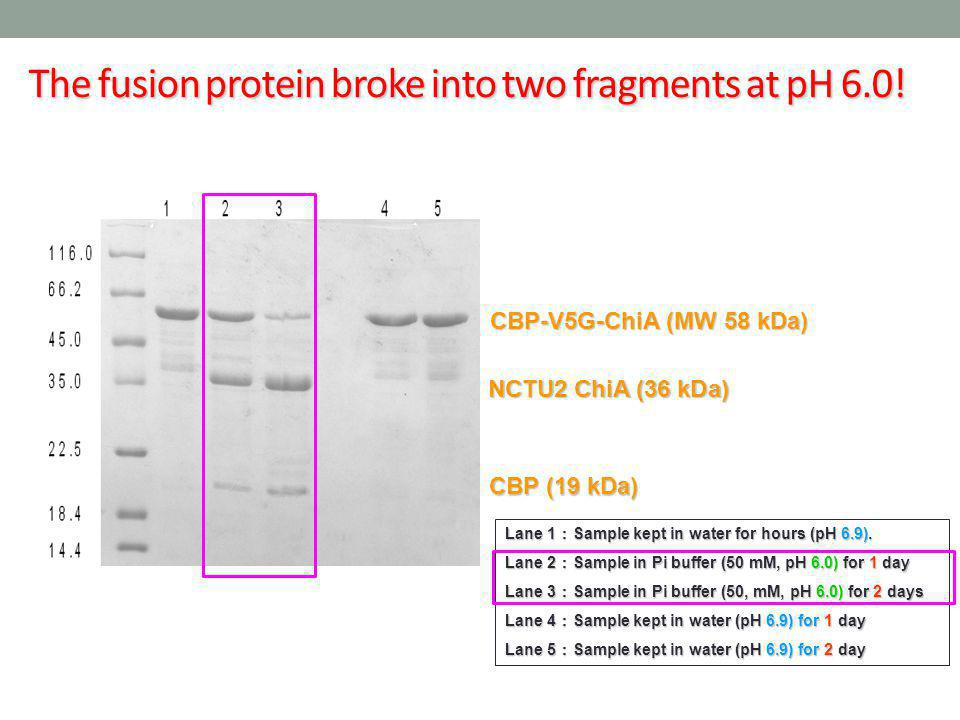 The fusion protein broke into two fragments at pH 6.0!