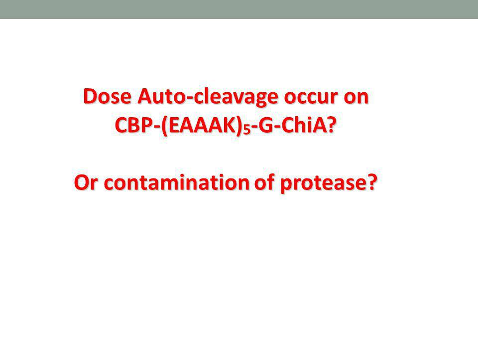 Dose Auto-cleavage occur on CBP-(EAAAK)5-G-ChiA