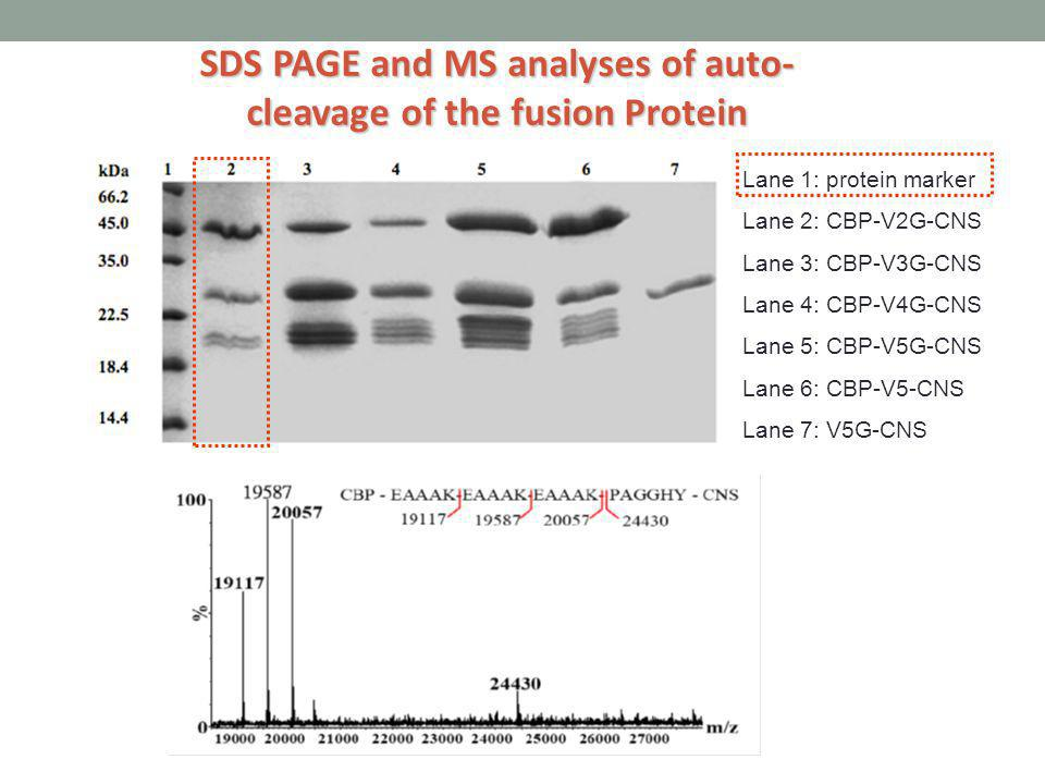 SDS PAGE and MS analyses of auto-cleavage of the fusion Protein