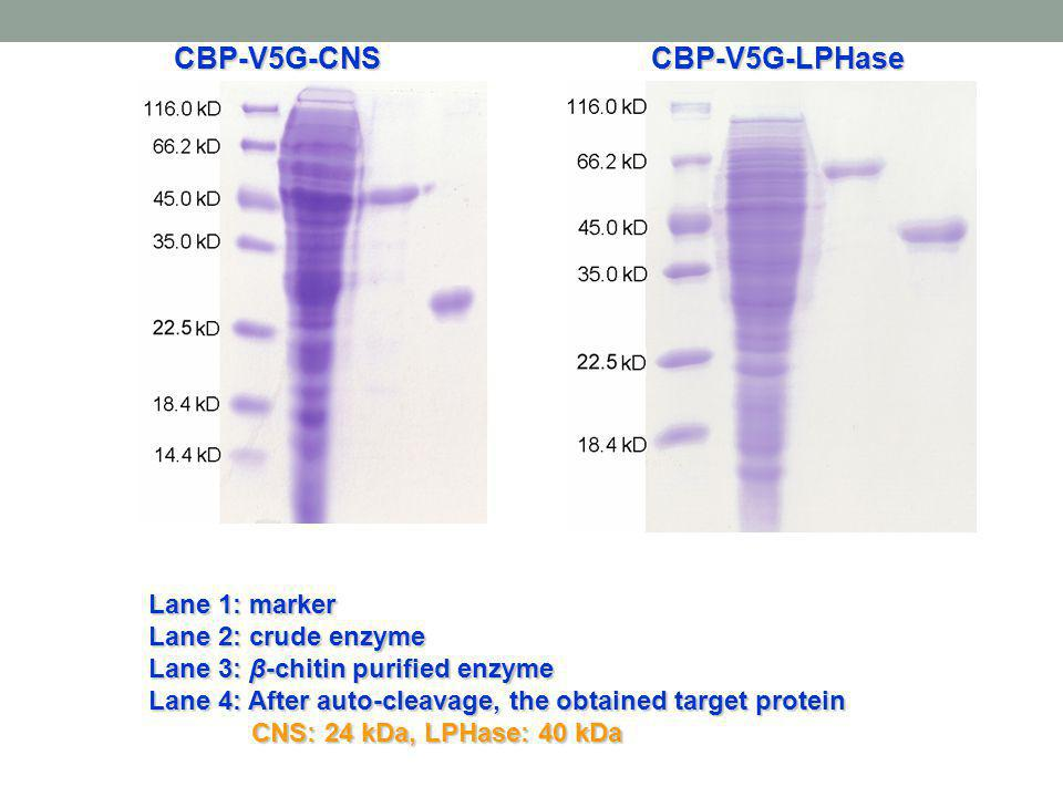 CBP-V5G-CNS CBP-V5G-LPHase Lane 1: marker Lane 2: crude enzyme