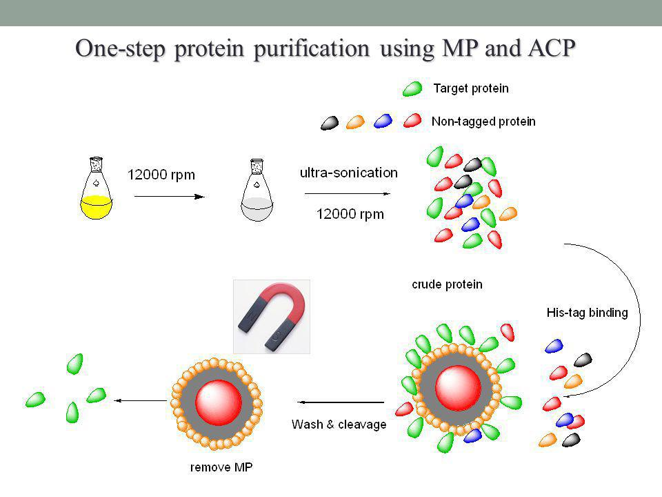 One-step protein purification using MP and ACP