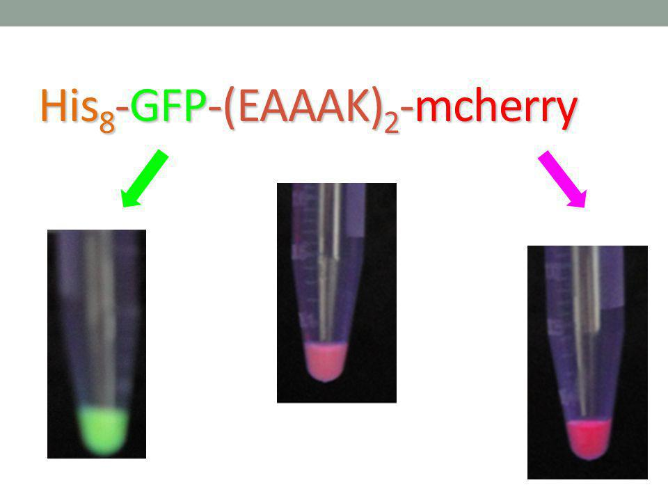 His8-GFP-(EAAAK)2-mcherry